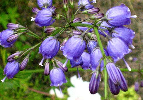 Растение Бубенчик мутовчатый