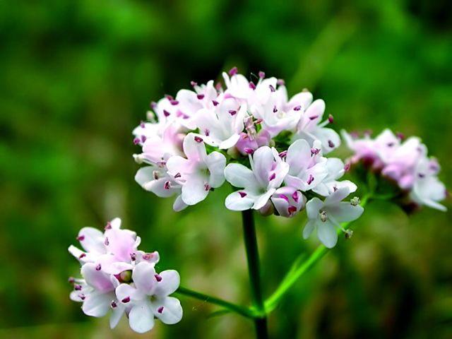 19089 Растение Валериана