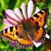 Бабочка Крапивница фото - 4998 100x100