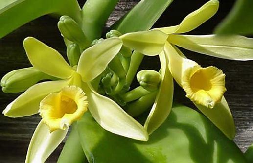 Растение Ваниль