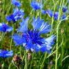 Растение Василек синий