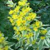 Растение Вербейник фото - 5019 100x100