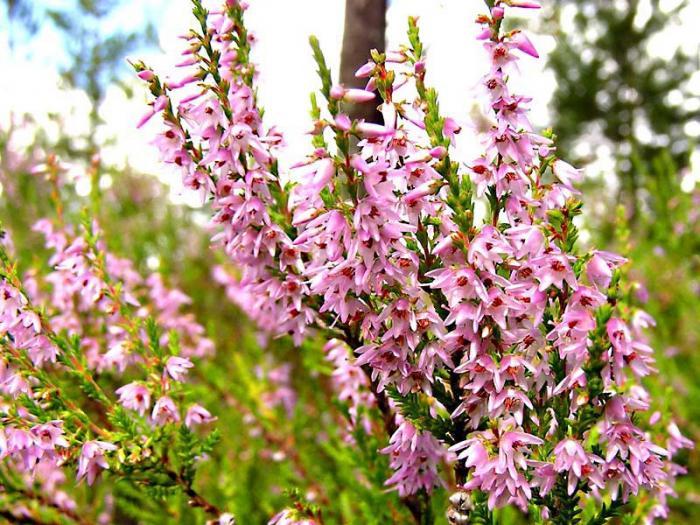 Растение Вереск обыкновенный