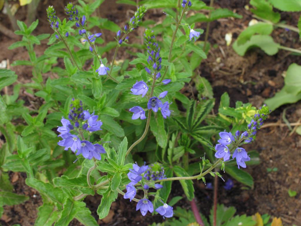 Растение Вероника лекарственная