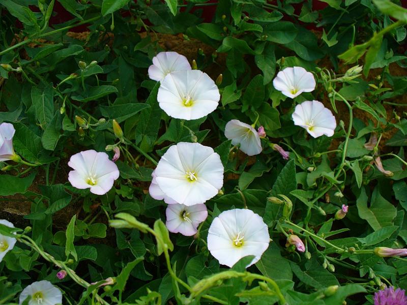 19400 Растение Вьюнок полевой