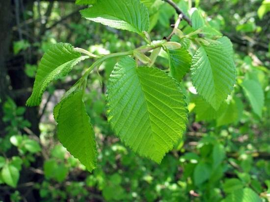 Дерево Вяз граболистный