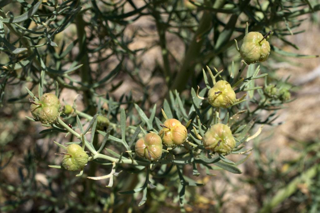 Растение Гармала
