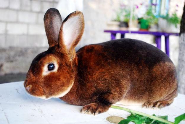 Кролик, порода Рекс