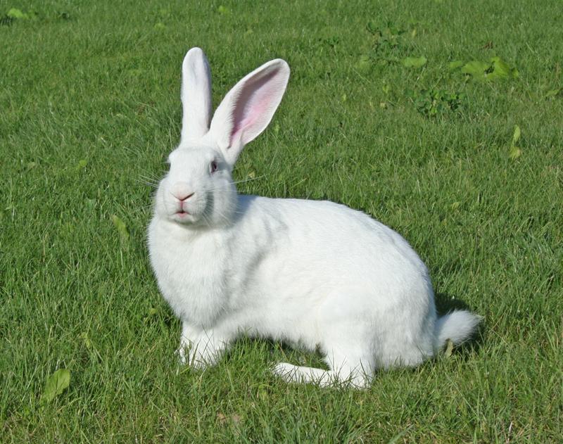 Кролик, порода Белый великан