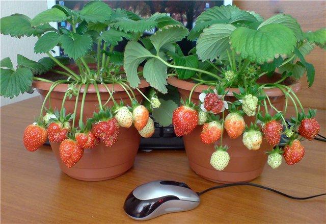 Клубника выращивание дома в квартире