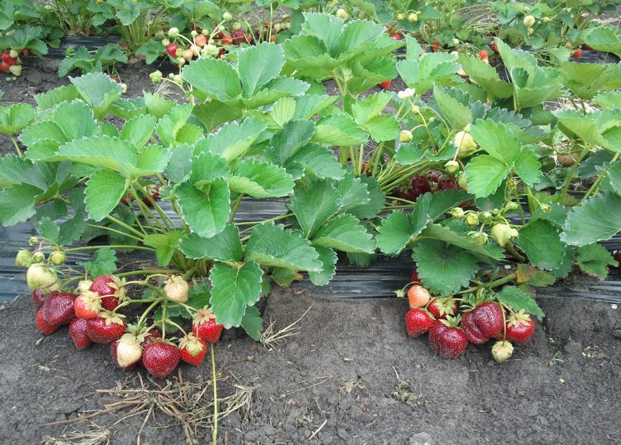 Сорта садовой земляники (клубники) среднепозднего и