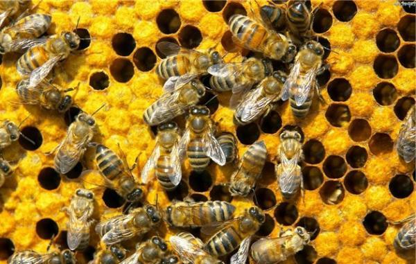 Пчеловодство. Болезни