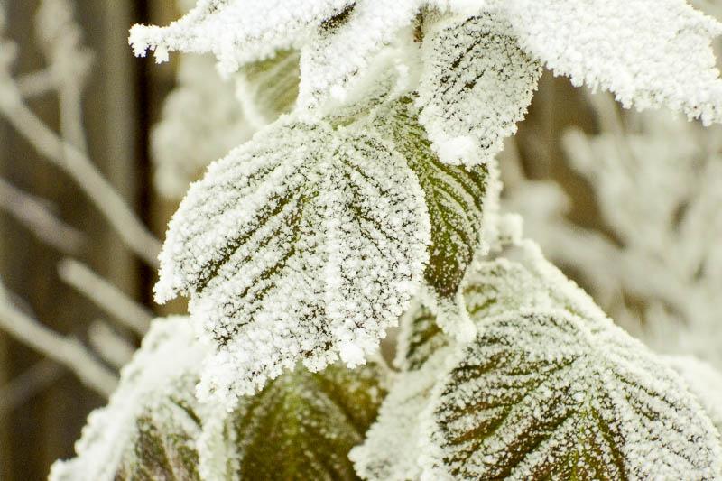 Малина зимой
