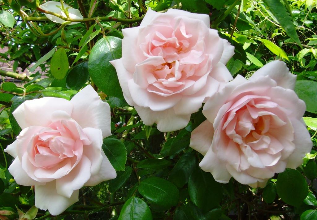 Роза, сорт Нью Доун (New Dawn)