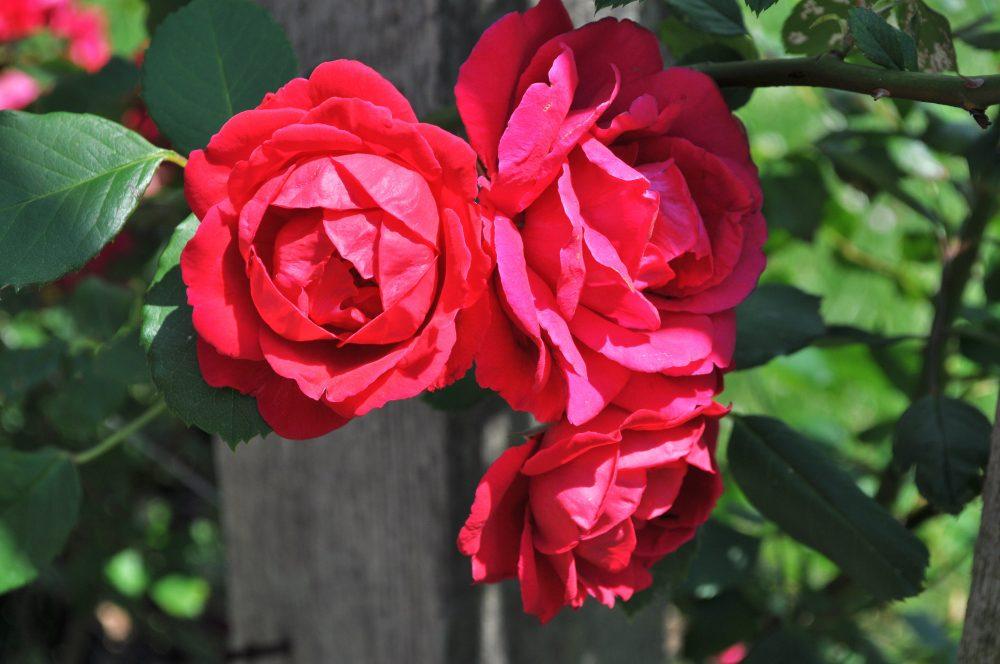 Роза, сорт Полс Скарлет Клаймер (Paul's Scarlet Climber)