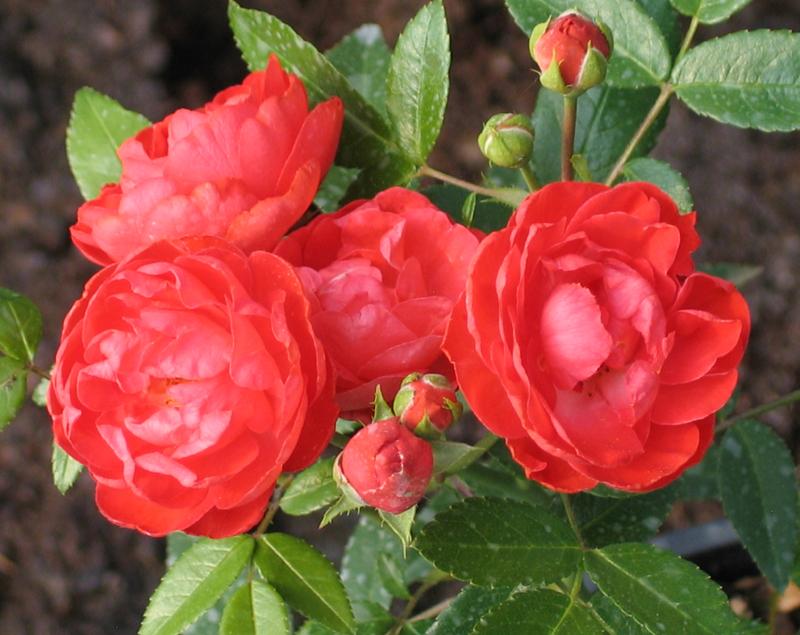 Роза, сорт Оранж Морсдаг (Orange Morsdag)