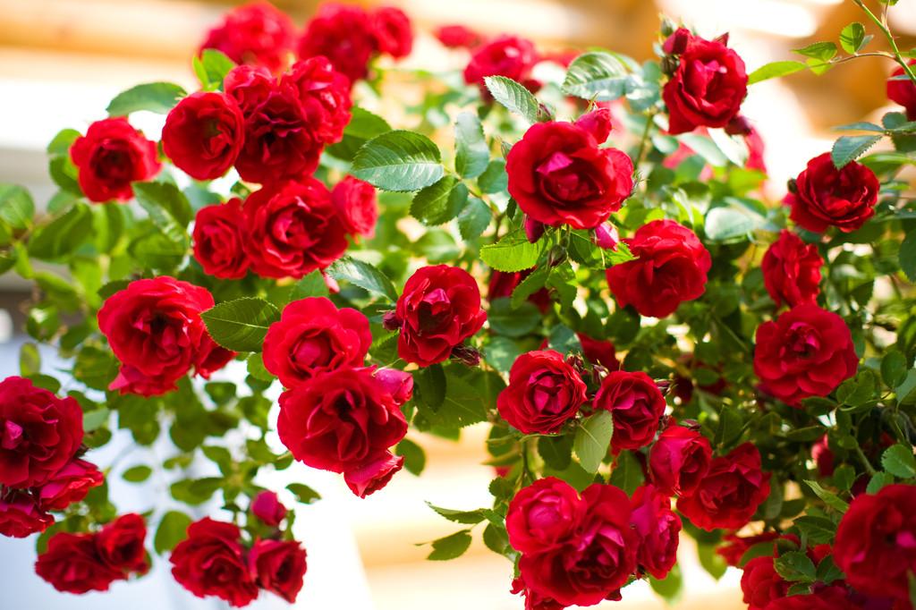 Роза, сорт Фламентанц (Flammentanz)