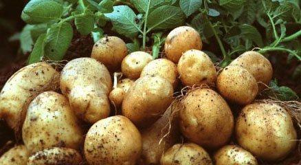 Вырождение картофеля и как его избежать
