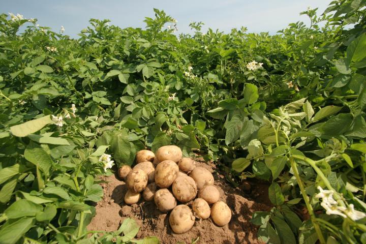 Как защитить картофель от вырождения