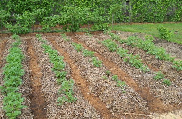 Зимняя посадка картофеля. Озимый картофель