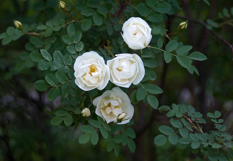 Роза, сорт Альба (Rosa alba)