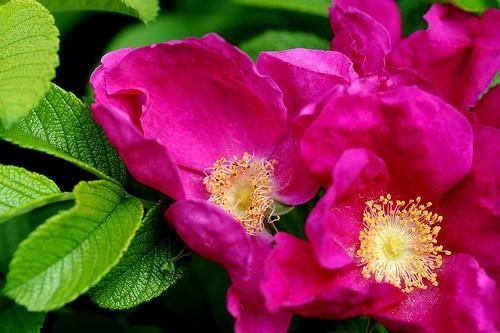 Роза, сорт Ругоза (Rosa rugosa)