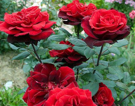 Роза, сорт Баркароле (Barcarole)