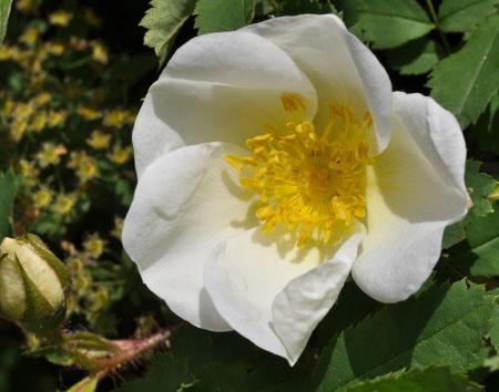 20088 Роза, сорт Спинозиссима (Rosa spinosissima)