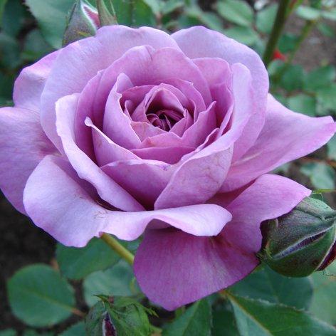 Роза, сорт Блю Парфюм (Blue Parfum)