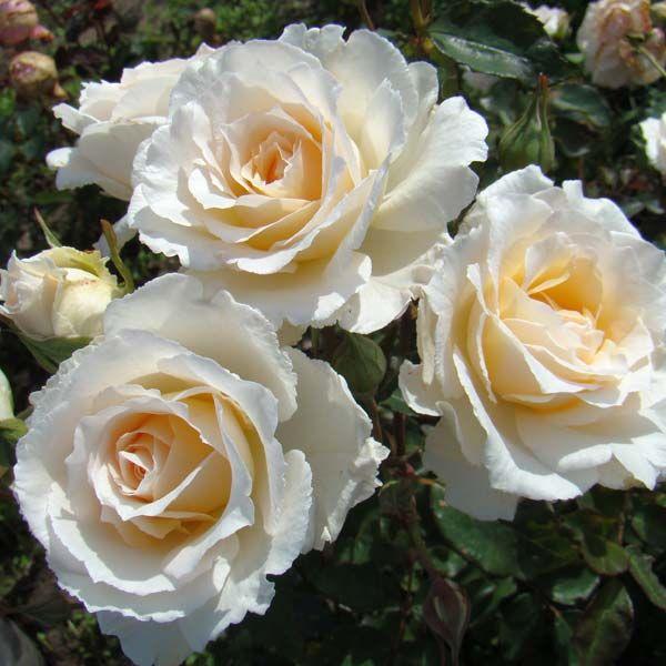 Роза, сорт Шопен (Chopin)