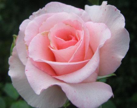 Роза, сорт Фламинго (Flamingo)