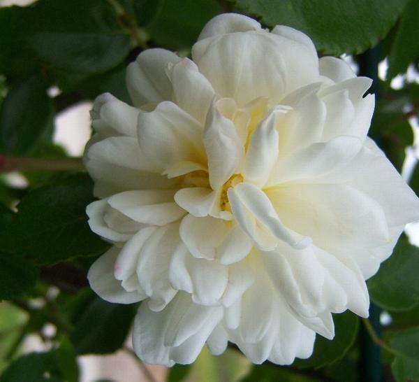 Роза, сорт Альберик Барбье (Alberic Barbier)