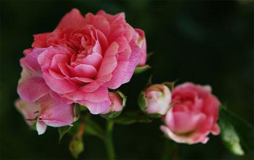 Роза, сорт Дороти Перкинс (Dorothy Perkins)
