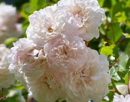 Роза, сорт Фэлисит Перпетю (Felicite Perpetue)