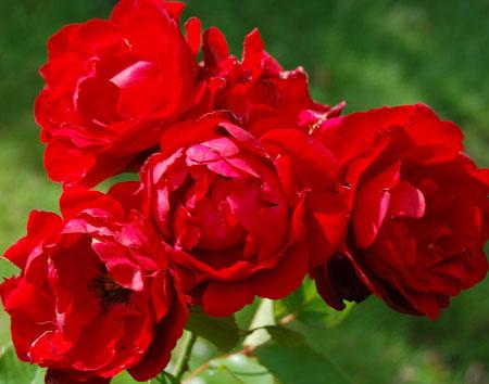 Роза, сорт Лилли Марлен (Lilli Marleen)