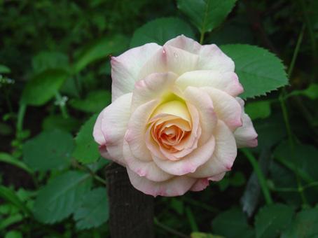 Роза, сорт Гэлакси (Galaxy)