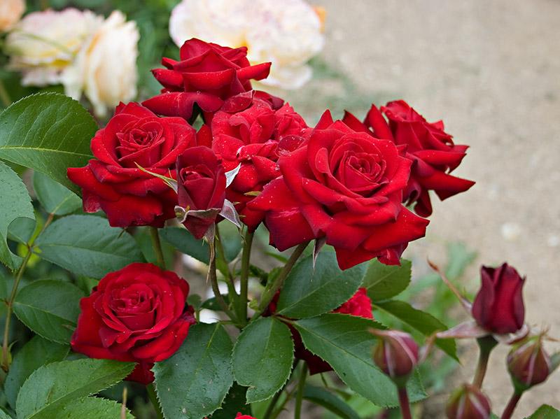Роза, сорт Николо Паганини (Niccolo Paganini)