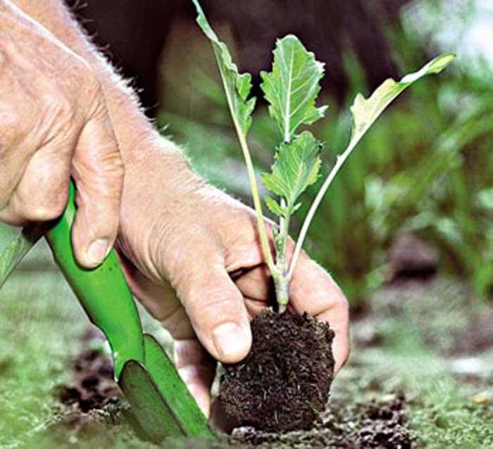 Обработка почвы под капусту