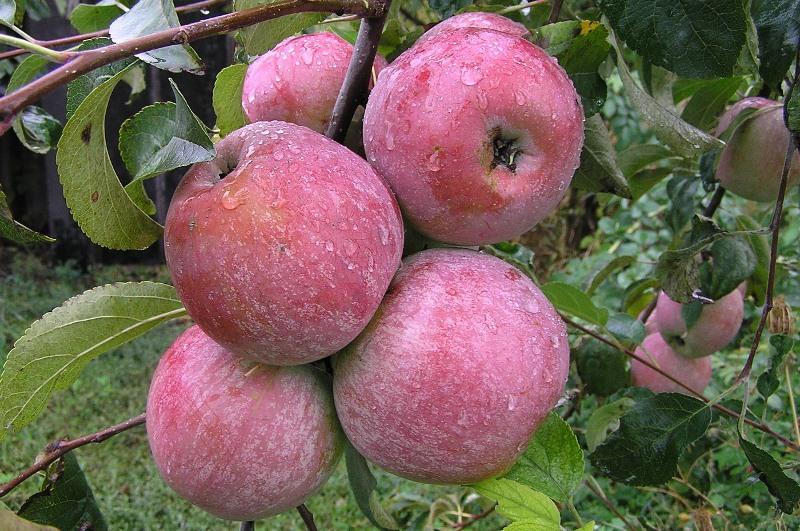 Лучшие яблони