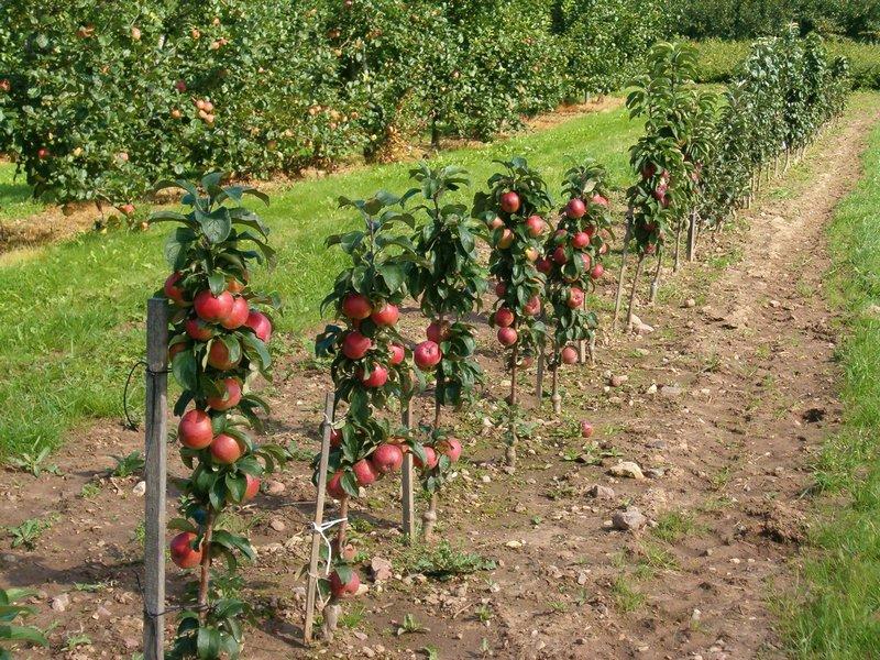 Можно ли сажать плодовые деревья в огороде 99