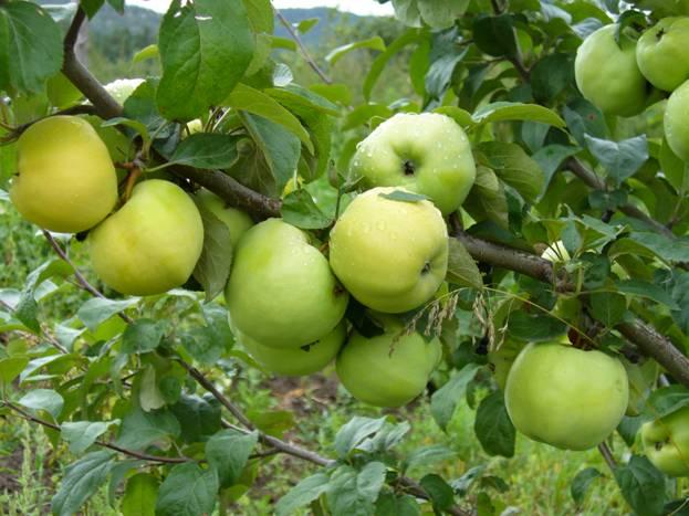 Сорта яблонь зимние