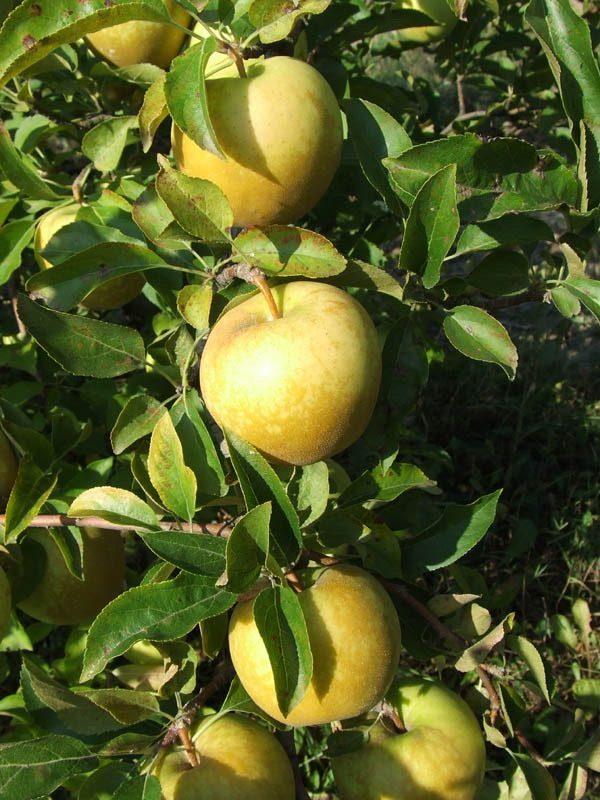 Груша яблоко