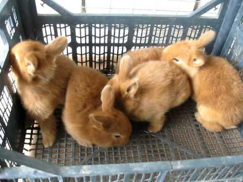 Кролики. Окрол