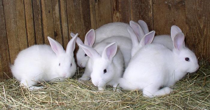 Болезни кроликов, лечение и профилактика