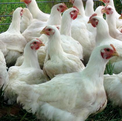 20508 Типы кормления кур