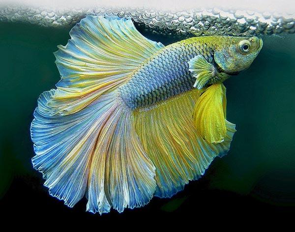 Колумнариоз — заболевания аквариумных рыб