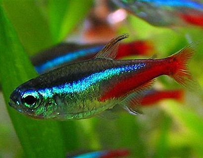 Бранхиомикоз (жаберная гниль) — заболевания аквариумных рыб