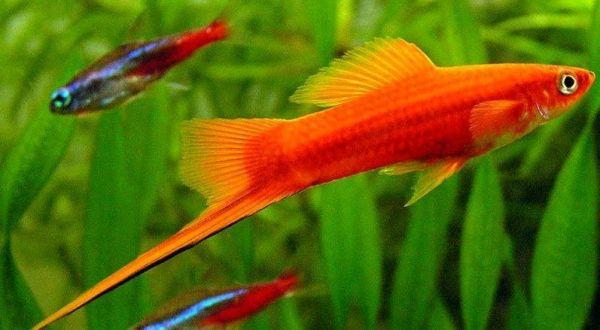Сапролегниоз (дерматомикоз) – заболевания аквариумных рыб