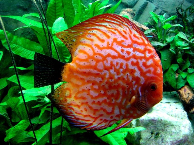 Рыбий туберкулез – заболевания аквариумных рыб