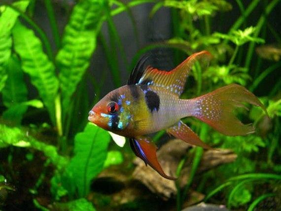 Лепидортоз — заболевания аквариумных рыб
